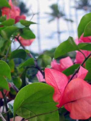 Hawaiian_Bougainvillea